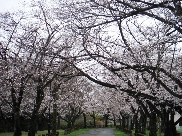 「八景水谷公園 桜」の画像検索結果